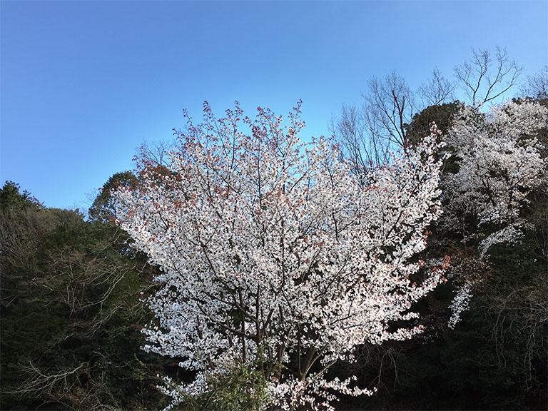 春の訪れ・山桜満開